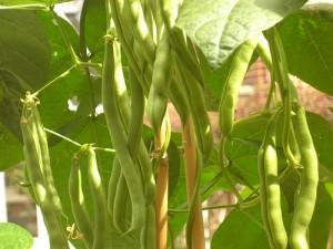 Climbing Beans