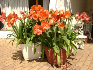 Amaryllis on the patio