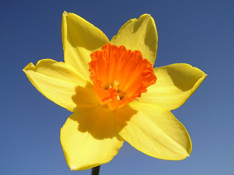 Daffodils loveliest of spring flowers daffodil a lovely spring flower mightylinksfo