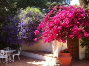 Bougainvillea  and Petrea Bloom together