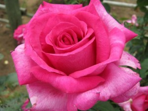 Garden Queen Rose