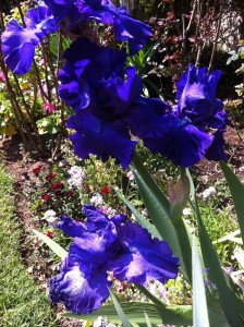 Deep Blue irises