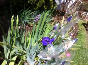 Irises covered with plastic bags